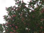 růžový kaštan